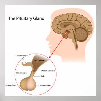 El poster de la glándula pituitaria