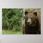 El poster del oso grizzly