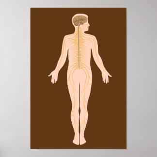 El poster del sistema nervioso