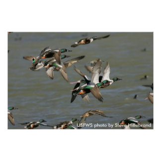 El poster/el pato cuchara septentrional Ducks el Póster