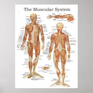 El poster muscular 18 x 24 de la anatomía del sist