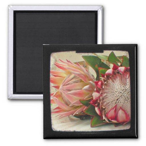 El Protea rosado florece el imán de la foto de TTV