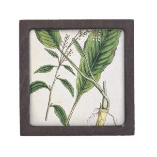 """El rábano picante, platea 415 """"de un herbario curi cajas de regalo de calidad"""