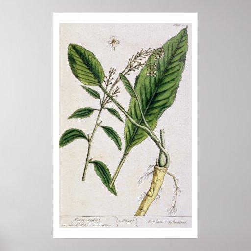 """El rábano picante, platea 415 """"de un herbario curi impresiones"""