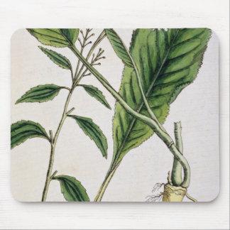 """El rábano picante, platea 415 """"de un herbario curi tapetes de ratones"""