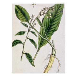"""El rábano picante, platea 415 """"de un herbario tarjetas postales"""