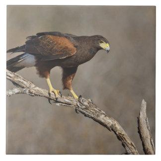 El rapaz encaramado halcón de Harris Azulejo Cuadrado Grande