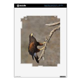 El rapaz encaramado halcón de Harris Pegatinas Skins Para iPad 3