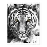 El resplandor del tigre tarjeta postal