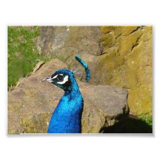 El retrato del pavo real foto