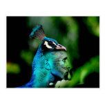 El rey del pavo real tarjetas postales