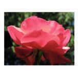 El rocío besó color de rosa tarjetas postales