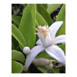 """El rocío cubrió el flor blanco de la fruta cítrica folleto 8.5"""" x 11"""""""