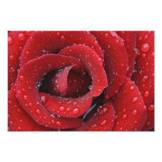 El rocío cubrió el rosa rojo que adornaba el sitio cojinete