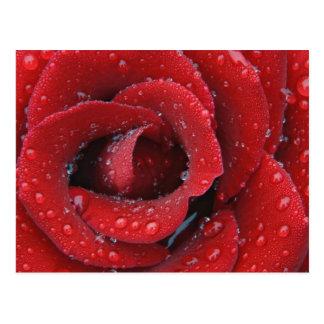 El rocío cubrió el rosa rojo que adornaba el sitio tarjeta postal