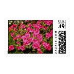 """El rododendro rosado Indicum """"subió"""" las flores Franqueo"""