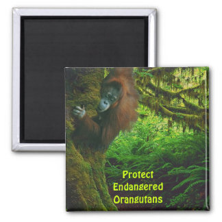 El rojo en peligro de los orangutanes imita el imá iman de frigorífico