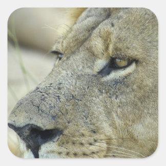 El rojo grande es un león masculino magnífico calcomanías cuadradass personalizadas