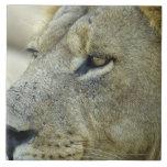El rojo grande es un león masculino magnífico que  azulejos cerámicos