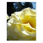 El rosa amarillo de los ROSAS florece 3 tazas de l Tarjetas Postales
