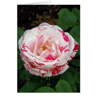 El rosa blanco con rojo salpica tarjetón