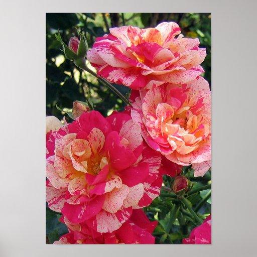 El rosa blanco rojo florece el poster