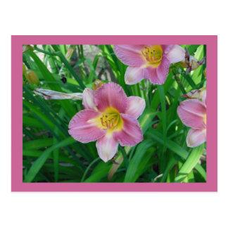 El rosa bonito florece las postales