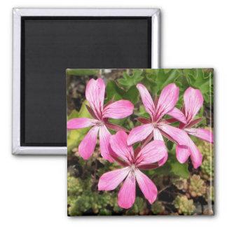 El rosa florece el geranio imán cuadrado rosado de