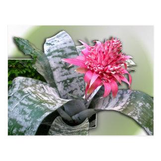 El rosa floreció Bromeliad Tarjetas Postales
