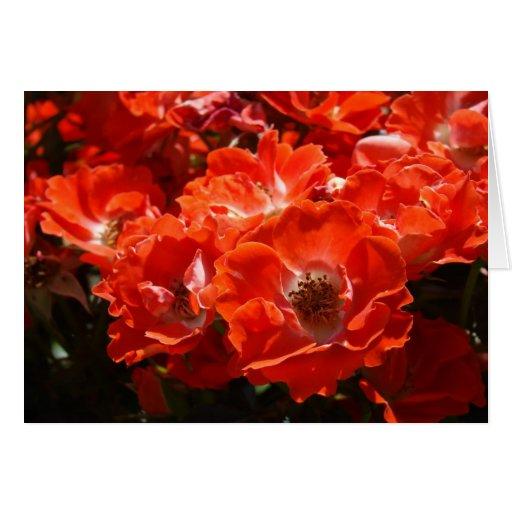 El rosa rojo de los ROSAS florece las tazas de los