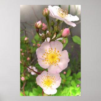 El rosa salvaje subió florece los posters