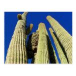 El Saguaro con cresta más alto Postal
