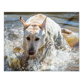 El salpicar amarillo activo de Labrador: Fotografías