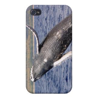 El salpicar de la ballena jorobada iPhone 4 cobertura