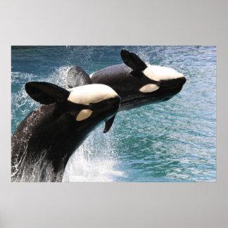 El saltar de dos orcas del agua posters