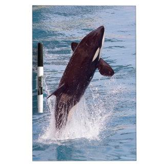 El saltar de la orca del agua pizarra blanca