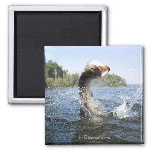 El saltar del lucio europeo del agua en un lago iman