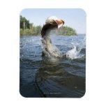 El saltar del lucio europeo del agua en un lago iman de vinilo