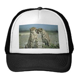 El sentarse de dos guepardos cara a cara gorros