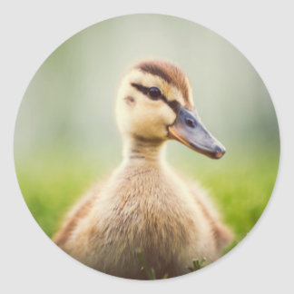 El sentarse ducking del pato silvestre lindo del b etiqueta