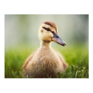 El sentarse ducking del pato silvestre lindo del b tarjetas postales
