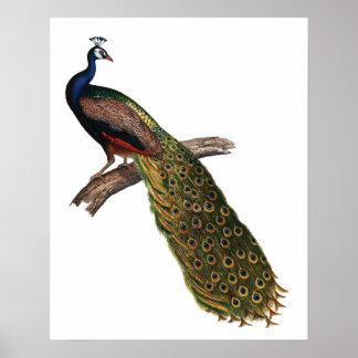 El simbolismo del pavo real póster