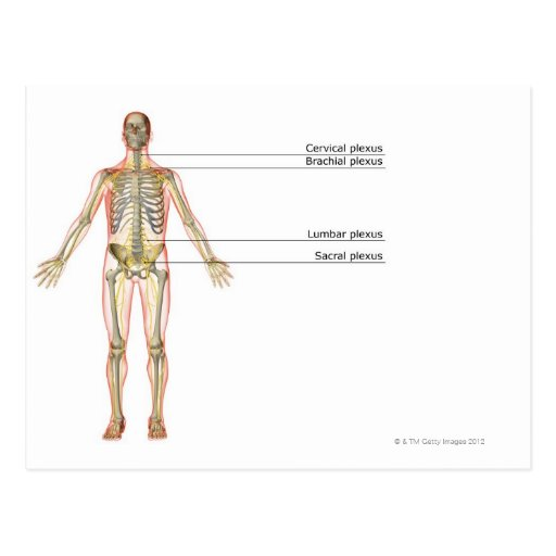 El sistema nervioso 2 tarjetas postales