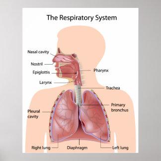 El sistema respiratorio etiquetado impresión posters