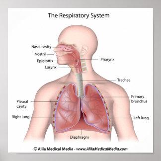 El sistema respiratorio etiquetado poster