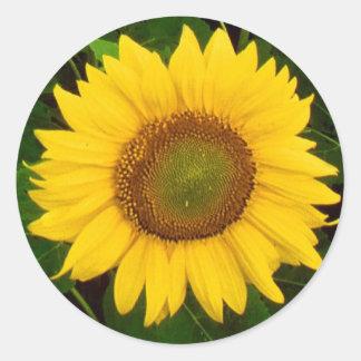 El solo verde del girasol deja la flor amarilla pegatina redonda
