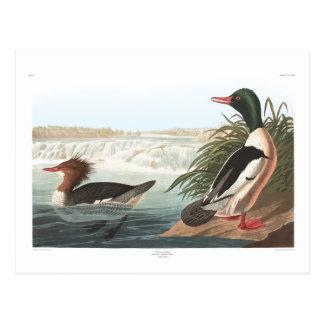 El somorgujo de Audubon Tarjetas Postales