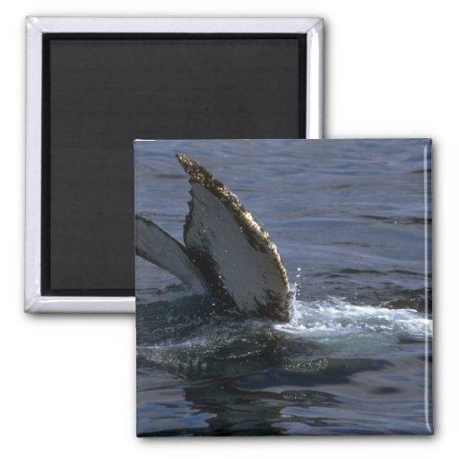 El sonar de la ballena jorobada (platijas de la co imán de nevera