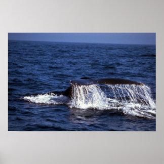 El sonar de la ballena jorobada platijas de la co poster