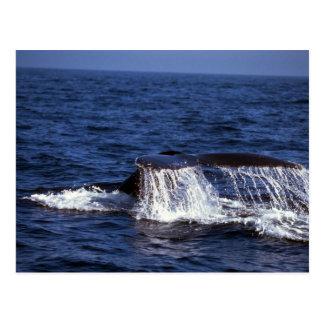 El sonar de la ballena jorobada platijas de la co postal